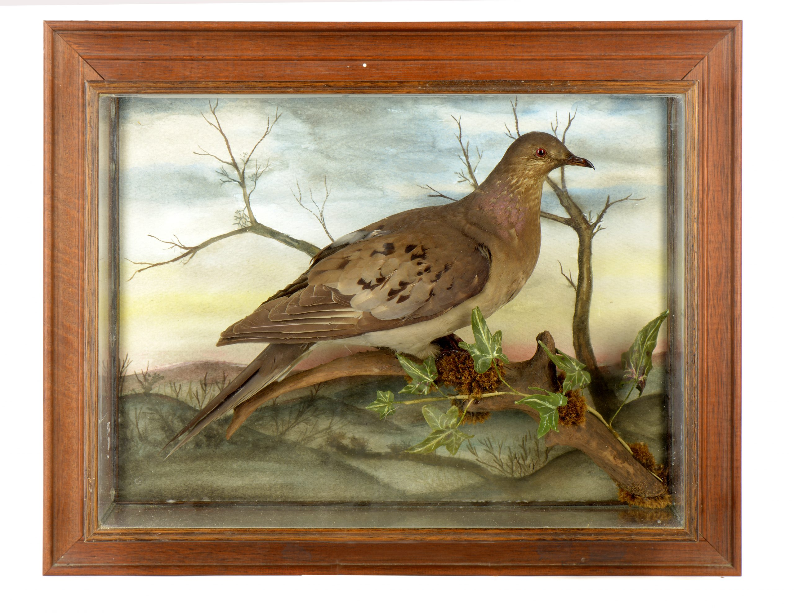 Exceptionally rare example of the Passenger Pigeon